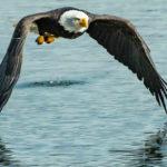Aquila in volo sull'acqua