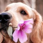 Golden retriever con fiore
