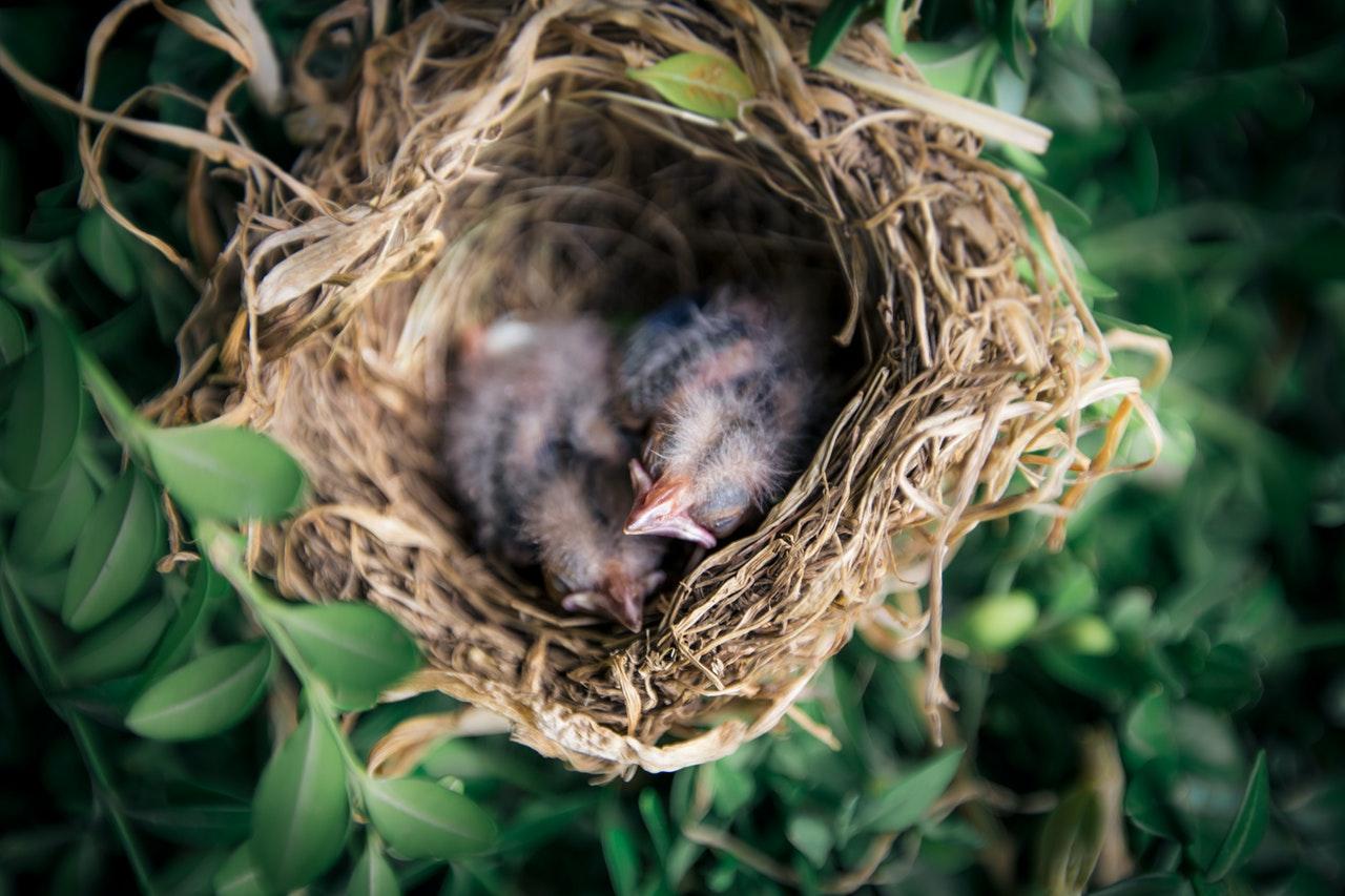 Uccelli nel nido
